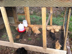 Chickens in the tractor